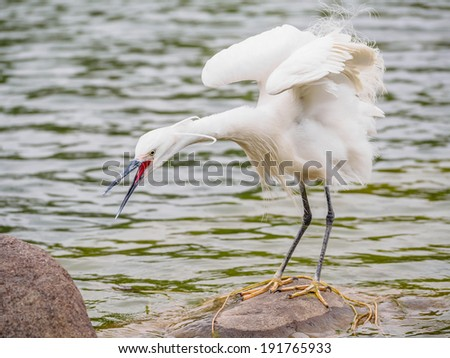 Snowy Egret (Egretta thula) Standing on rocks in the water, the moment before catch fish,  Shanghai, China - stock photo