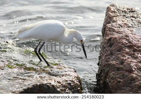 snowy egret fishing among the rocks - stock photo