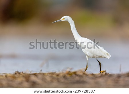 Snowy Egret hunting for frogs and dragonflies in marshland. This picture would make a subject for a painting / watercolor. This bird in its winter plumage. Its golden eye stands out against the black  - stock photo