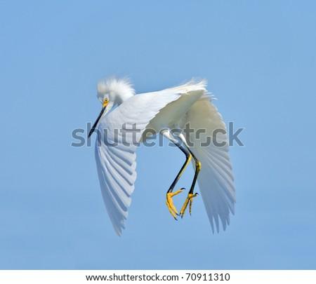 Snowy Egret in flight. Latin name - Egreta tula. Focus on eyes. - stock photo