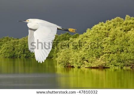 Snowy Egret in flight over Ding Darling National Wildlife Refuge, Florida. - stock photo