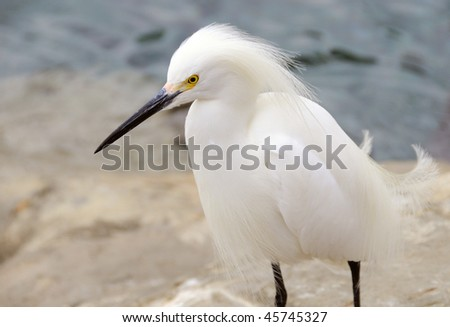 Snowy Egret on the Rocks at the Gulf of Mexico - stock photo