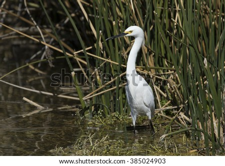 Snowy Egret standing in the reeds in the pond - stock photo