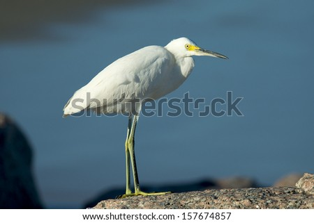Snowy Egret stands on a rock at a beach on the Texas Gulf Coast. - stock photo