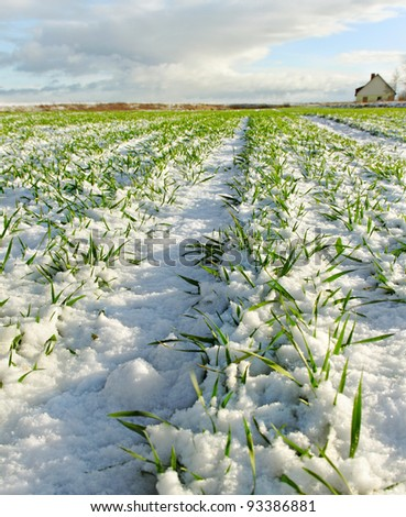 Snowy land with growing wheat in a sunny day. - stock photo