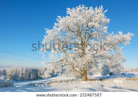 Snowy Oak tree in winter landscape - stock photo