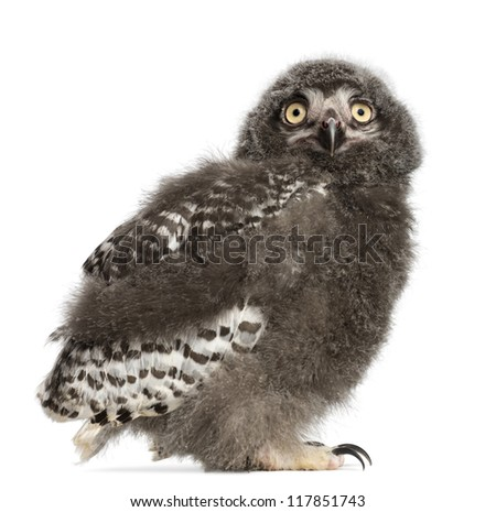 Snowy Owl chick, Bubo scandiacus, 31 days old against white background - stock photo