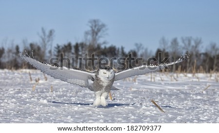 Snowy owl in flight, catches prey in corn field.  Winter in Minnesota. - stock photo