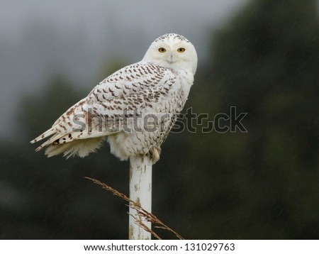 Snowy Owl in the Rain - stock photo