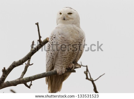 Snowy Owl in Tree - stock photo