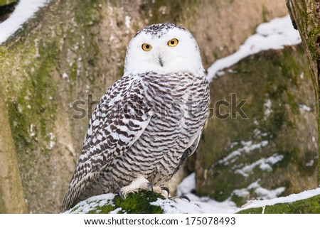 Snowy Owl in ZOO Liberec in Czech Republic - stock photo