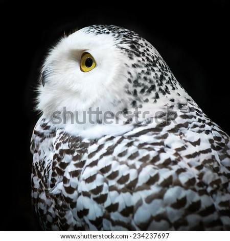 Snowy Owl isolated on black background - stock photo