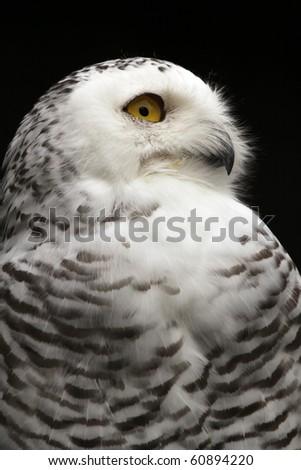 Snowy Owl - Nyctea scandiaca - stock photo