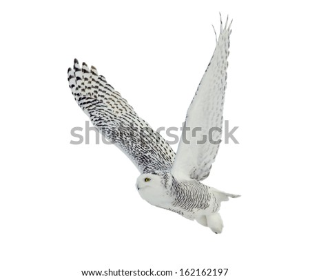 Snowy Owl on White Background - stock photo