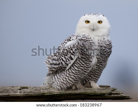 Snowy Owl perched and staring - stock photo