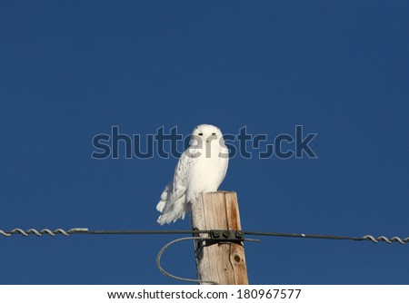 Snowy Owl perched on power pole - stock photo