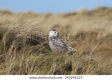 Snowy Owl - Sneeuwuil - stock photo