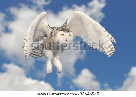 Snowy owl took in Quebec, Canada during winter. This guy flew in front of us for 2-3 seconds. - stock photo