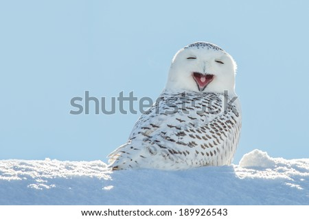 Snowy owl yawning, which makes it look like it's laughing. Copy space to left. - stock photo