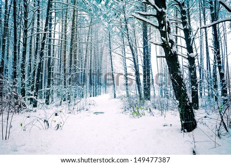 Snowy pine forest in winter - stock photo
