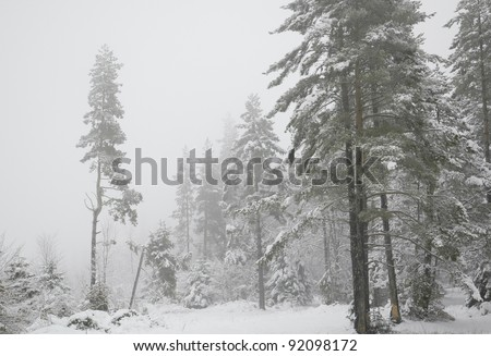 Snowy pine forest on a misty winter day - stock photo
