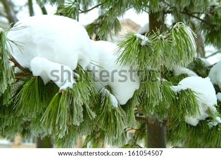 snowy tree branch - stock photo