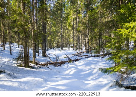 Snowy virgin forest in the winter - stock photo
