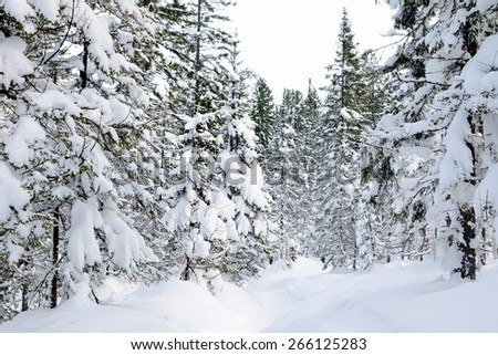 snowy wild firtree forest on a winter day - stock photo