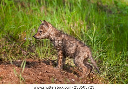 Soaking Wet Coyote Pup (Canis latrans) at Densite - captive animal - stock photo