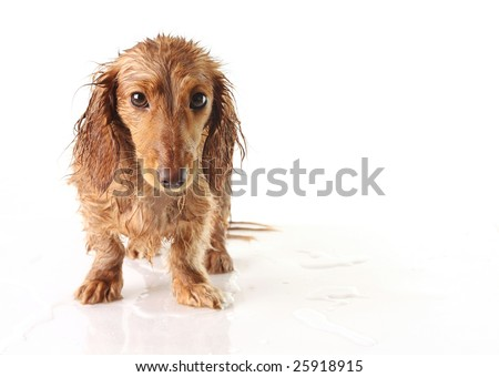 Soaking wet puppy looking very unhappy. - stock photo