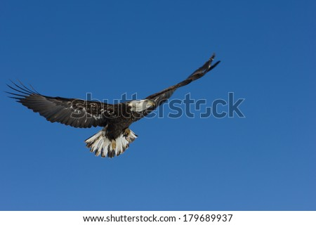 Soaring Bald Eagle in a Clear Blue Sky - stock photo