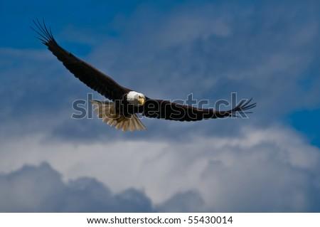 Soaring bald eagle looking down - stock photo