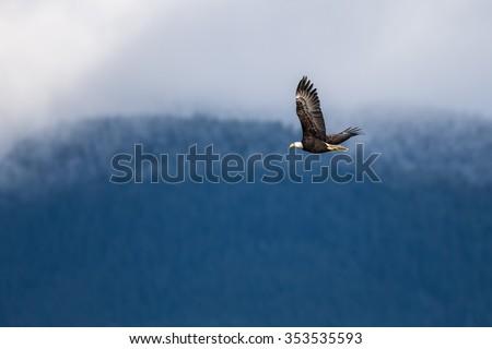 Soaring Bald Eagle near Harrison British Columbia - stock photo