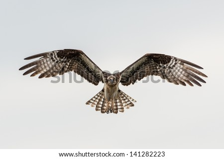 Soaring osprey - stock photo