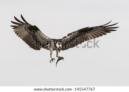 Soaring osprey carrying a fish in it's talons - stock photo