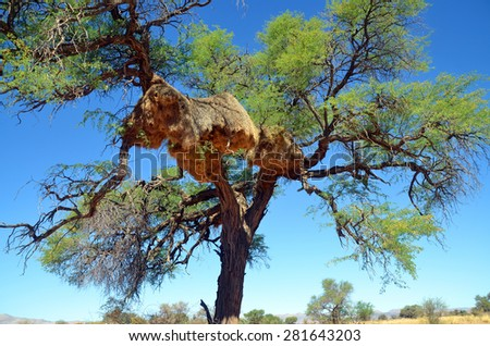Sociable Weaver, they build large compound community nests, a rarity among birds. These nests are perhaps the most spectacular structure built by any bird. - stock photo