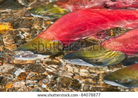 Sockeye Salmon swimming Upstream to their Spawning Grounds - stock photo