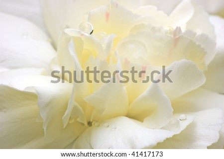 Soft Abstract White Flower Petals Macro - stock photo