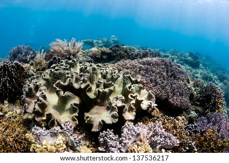 Soft and hard corals on a shallow water tropical coral reef - stock photo