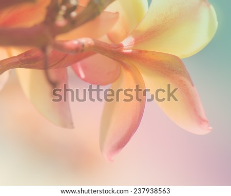 Soft background, sweet color of plumeria flowers. - stock photo