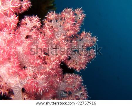 Soft Coral, Maratua, Borneo, Indonesia - stock photo
