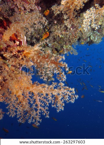 Soft coral on a reef wall, Blue Hole, Dahab - stock photo