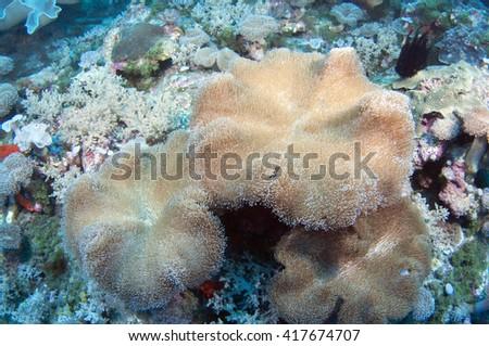 Soft coral Sarcophyton sp. - stock photo