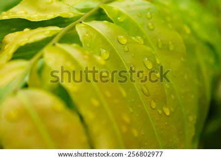 Soft focus and blurry of dew at fern leaves - stock photo