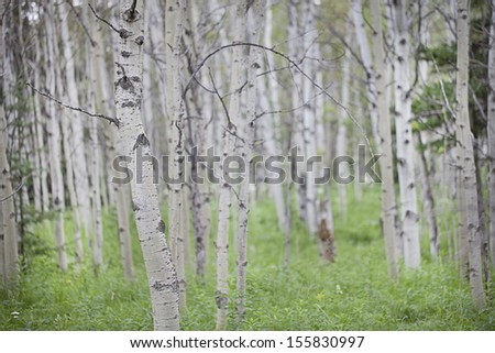Soft focus aspen trees background - stock photo