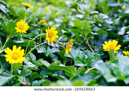 Soft-focus close-up of yellow flowers on field of flowers - stock photo