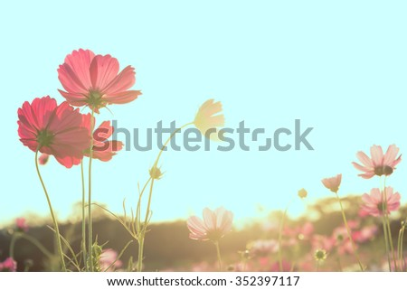 Soft focus Cosmos flower in silhouette sunset made pastel color filter - stock photo