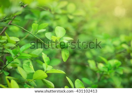 Soft focus fresh lime on the  tree (Blurred background). - stock photo
