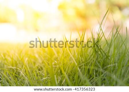 soft focus Green  grass under sunset light - stock photo