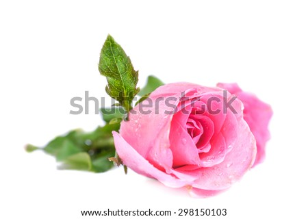 Soft Focus of A Pink Rose, Isolated on White Background [Vivid Bright Collection] - stock photo
